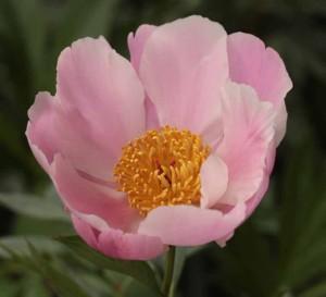 #Paeonia Nymphe